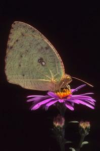 mottled_emigrant_butterfly1
